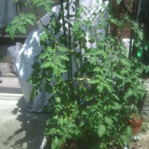 夏到来間近!トマトの季節!ウチのは?