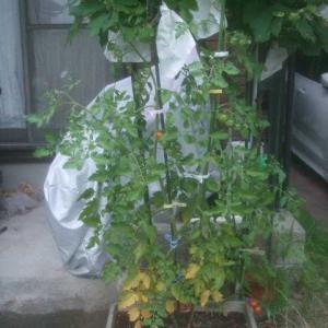 思いのほかドンドン収穫できる中玉トマト