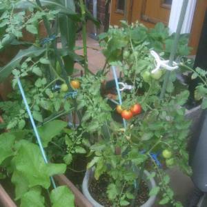 中玉トマト収穫最盛期迎える?