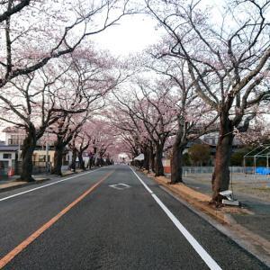 夜の森 桜並木
