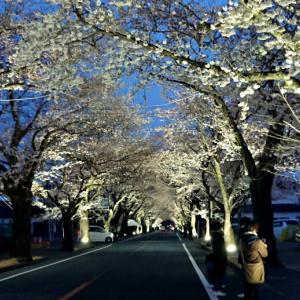 富岡町 夜の森の桜並木