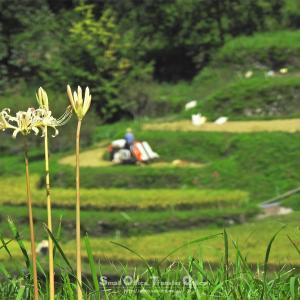 棚田と彼岸花の景色を探して星野村〜浮羽へ
