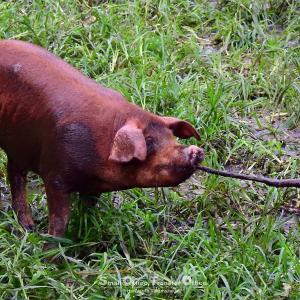 やまあい村の〝走る豚〟