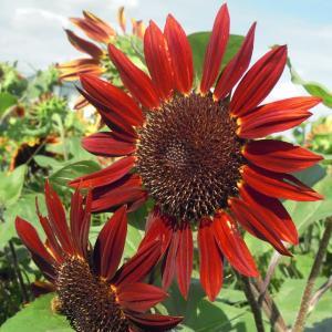 インディアンの太陽の花!花言葉、私はあなただけを見つめる!色や大きさによっても変わる。