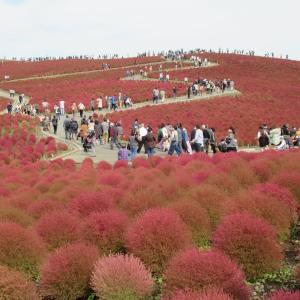 コキア(3万2000本)今が花盛り!週末は真っ赤に紅葉し最高の見頃となるでしょう。