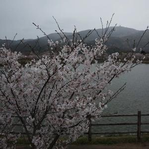 リンリンロード 桜 2020