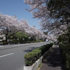 桜 国立市