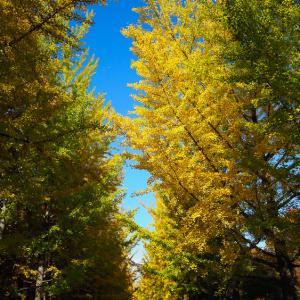 銀杏並木の黄葉と運動公園の紅葉