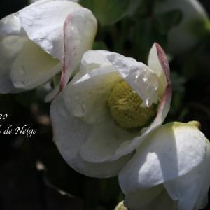ニゲルの開花