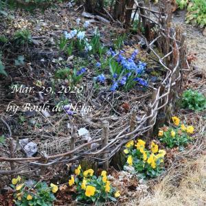早咲き球根とビオラの庭