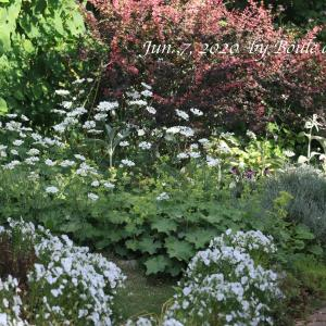 オルラヤ、アルケミラモリス咲く6月の庭