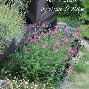 チェリーセージ咲く庭風景