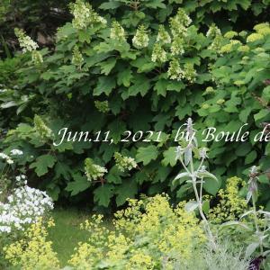6月中旬の庭、柏葉紫陽花とアナベル