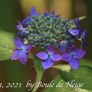 山紫陽花「藍姫」色変化