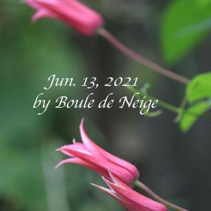 庭植え2年目のプリンセス・ダイアナ