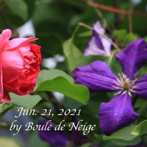 エトワールバイオレット、ジャックマニー、パレード咲く庭