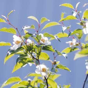 ヒメシャラが咲きました