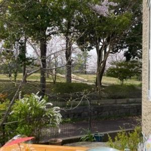 自宅庭から借景でお花見