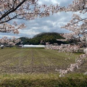 三田、桜、里山散歩