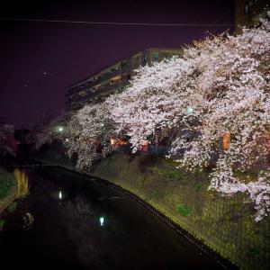 横浜大岡川帰宅「夜桜ン」2020。