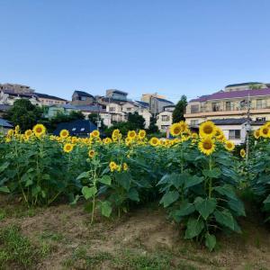 今年は開催、上大岡のひまわりこと「大賀の郷3万本のひまわり畑」。