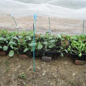 ブロッコリー畑を作った