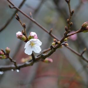 雨の中 桜が一輪