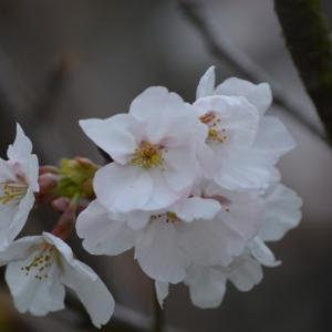咲いた桜も散る桜