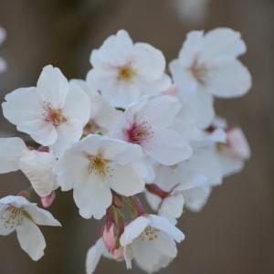 庭の桜で一人花見
