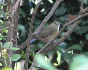 仙台MF)ルリビタキは定期的な少ない渡り鳥が絶滅