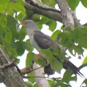 やっと見つけた仙台市の鳥カッコウ