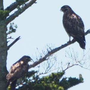 今季は里鷹の巣立ちは見逃した