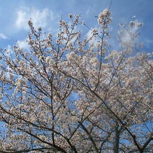 桜は 咲いても