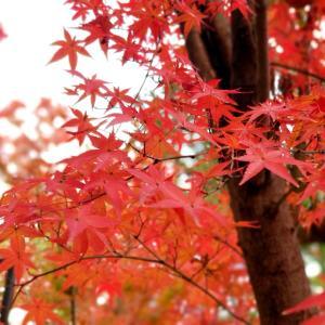 京都*北野天満宮もみじ苑とokaffe イケメンバリスタの居るカフェへ再訪