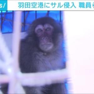 猿が羽田空港JAL施設で確保。お猿だけにおSAL? 送致先は日航SAL軍団?2タミはWANA?