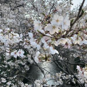 神田川の桜♪