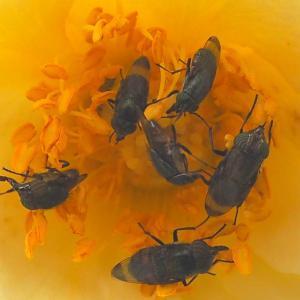 バラの蜜を吸うハエ
