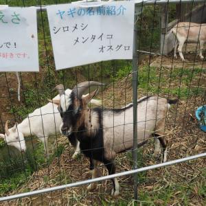 佐用町西新宿 花しょうぶ園にヤギがいた