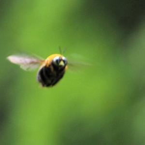 クマバチの飛翔を追う