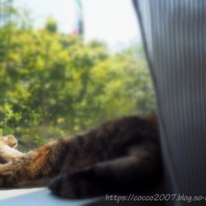 窓際のこっこちゃん。