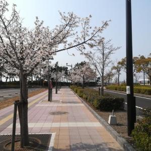 桜三昧~♪