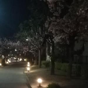 夜桜見ながら~