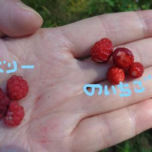 【北欧酷暑】野イチゴと木イチゴ食べ比べ。
