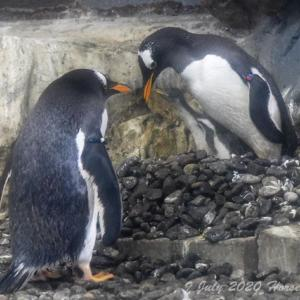 旭山動物園紀行 Part3 妻子を見守るジェンツーペンギンパパ