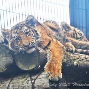 旭山動物園 Part 5 やんちゃざかりのアムールトラのこどもたち