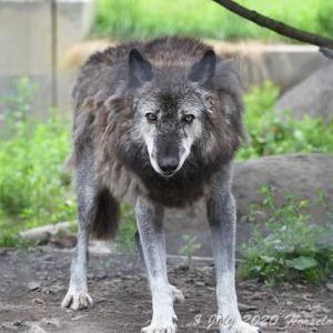 旭山動物園紀行 Part 12 オオカミなんか怖くない - RIP Ken