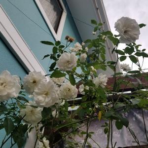 秋の薔薇たち。