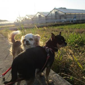 お散歩~~ 妊産犬