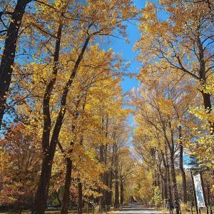 信大農学部のユリノキの黄葉 (20202年11月09日 月 ☀ EOS5DⅣ)