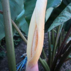 里芋の花に変化が〜〜
